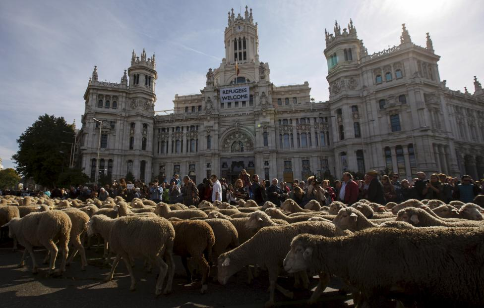 Around 2000 merino sheep walk past Madrid's two hall during the annual sheep parade through Madrid